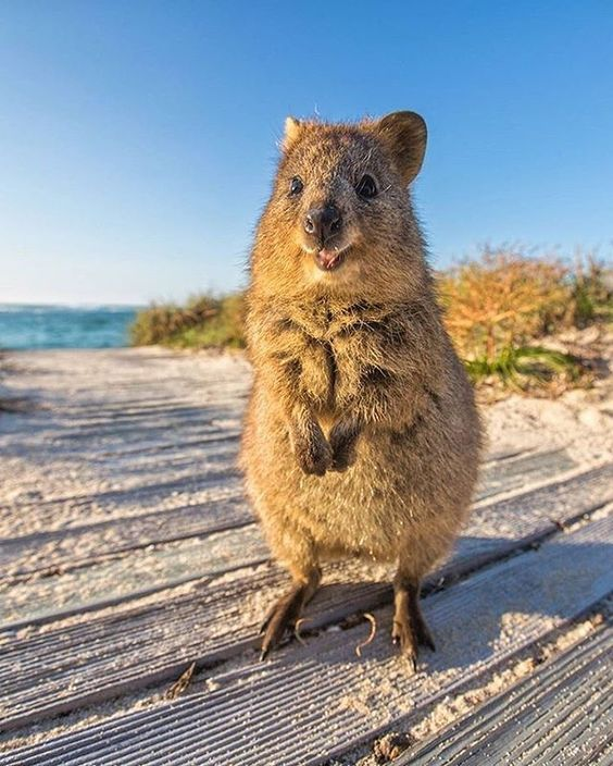 Quokka - Facts, Information and Pictures | by Pets Planet ...