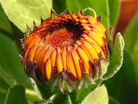 ポットマリーゴールドの花
