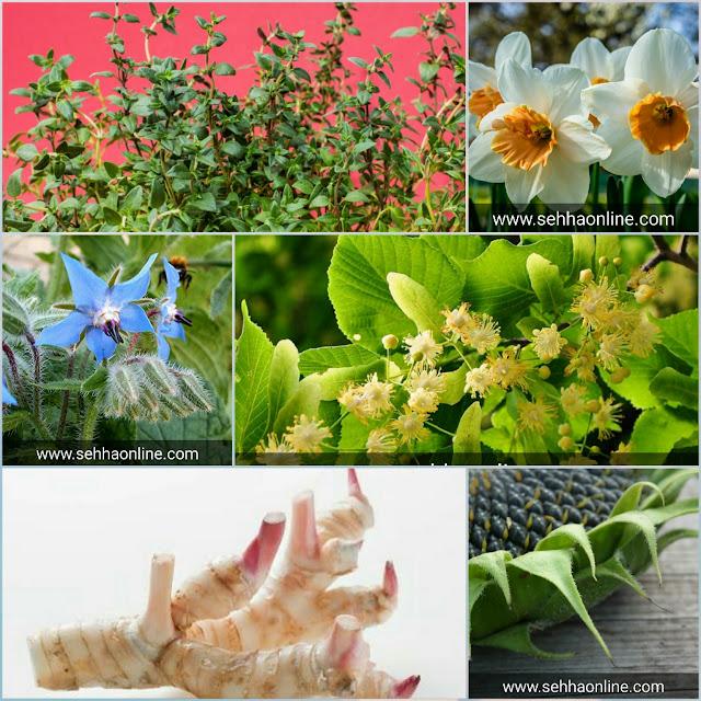الاعشاب الطبية وفوائدها، Herbes médicinales