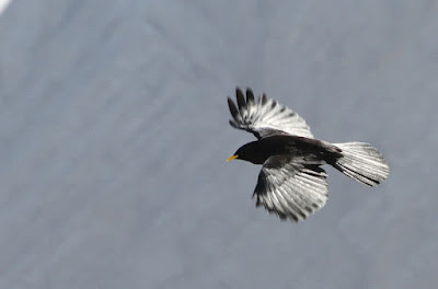 Alpine Chough – 26500 feet