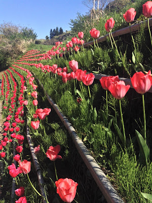 Kurihama Flower Park tulips