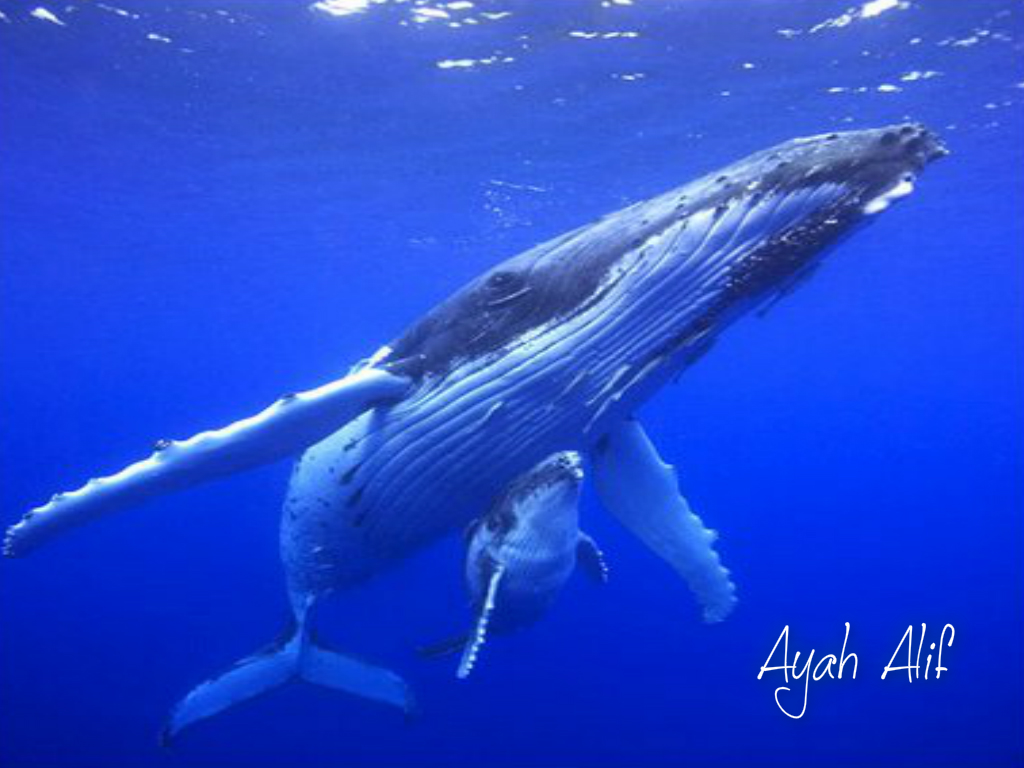 humpback whale facts - HD1024×768