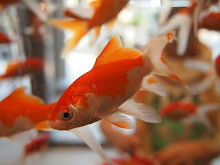 Ikan mas Ikan Hias Air Tawar yang Bisa Dicampur Dalam Akuarium