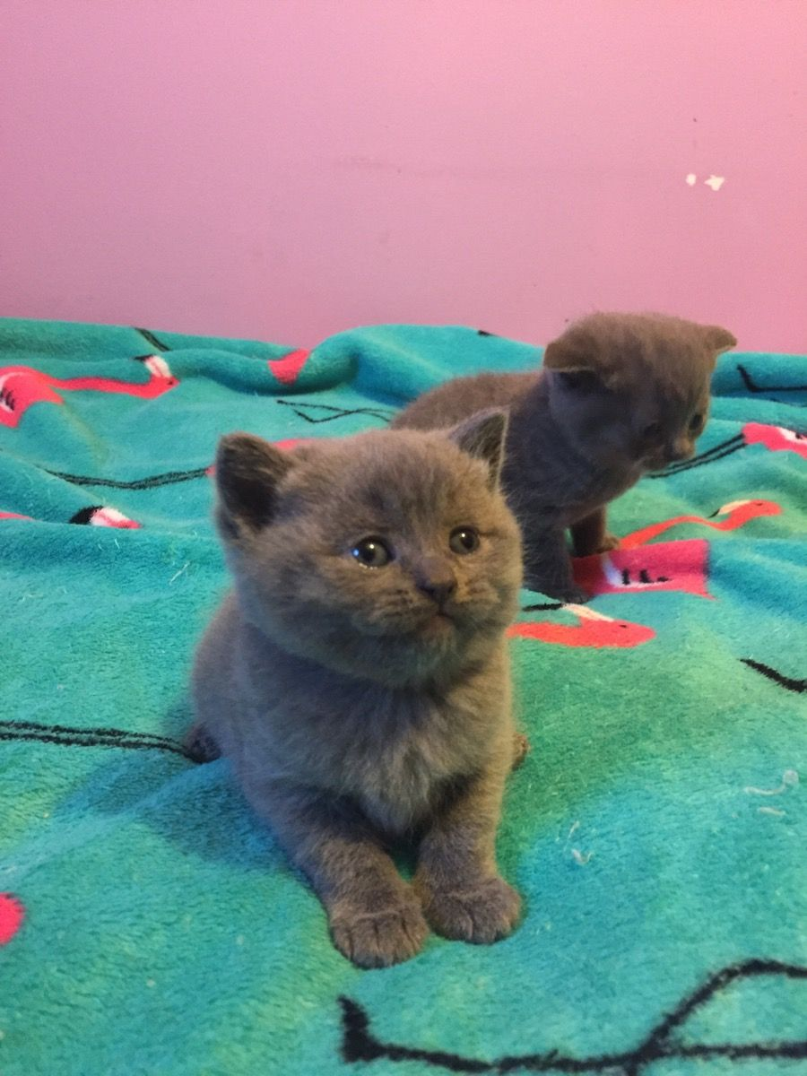 British shorthair cat kuwait