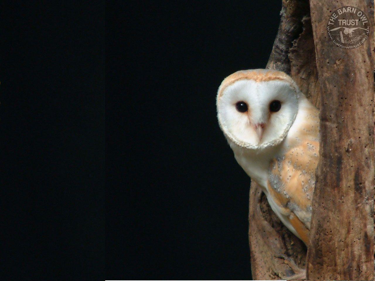 World Animal Beauti And Funny: Barn Owl