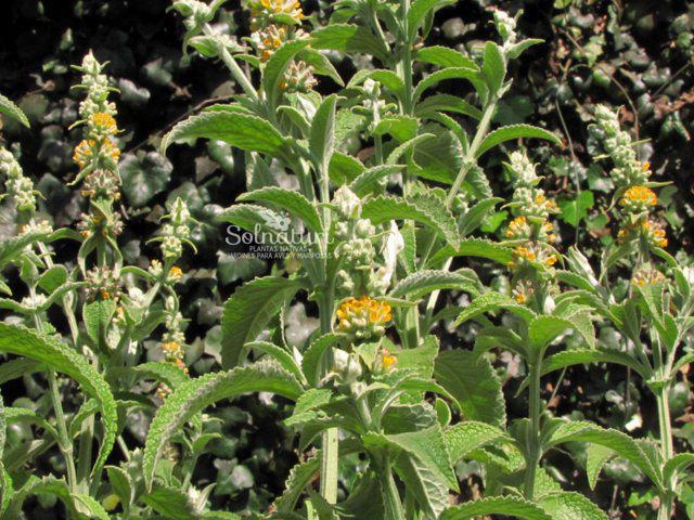 Buddleja stachyoides  Peludilla