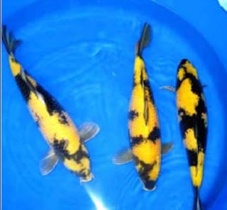 Jenis ikan Koi Ki Utsuri