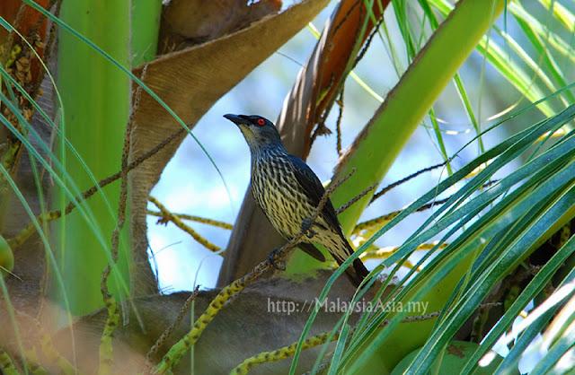 Mantanani Birding