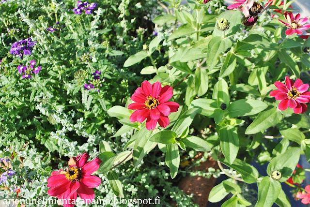 istutukset, kukat, syyshäät, syyskuu, häät