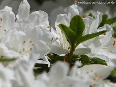 Blumen, weiße Blüten, grüne Blätter