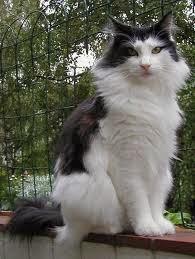 jenis kucing peliharaan
