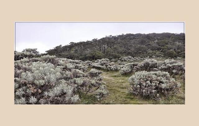 Edelweis (Anaphalis javanica)