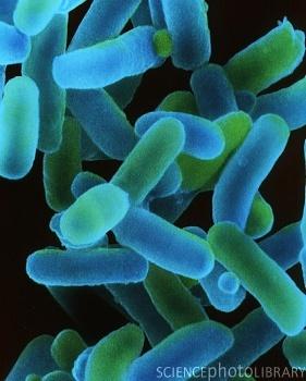 Para pruebas bioquimicas enterobacterias PDF