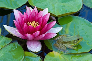 http://hubpages.com/living/Water-Lilies-The-Perfect-Addition-to-any-Garden