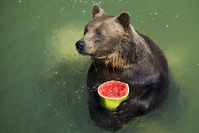 Foto van bruine beer met watermeloen in groene water