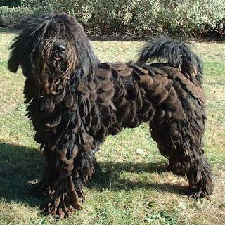 Bergamasco Shepherd-pets-dogs-dog breeds