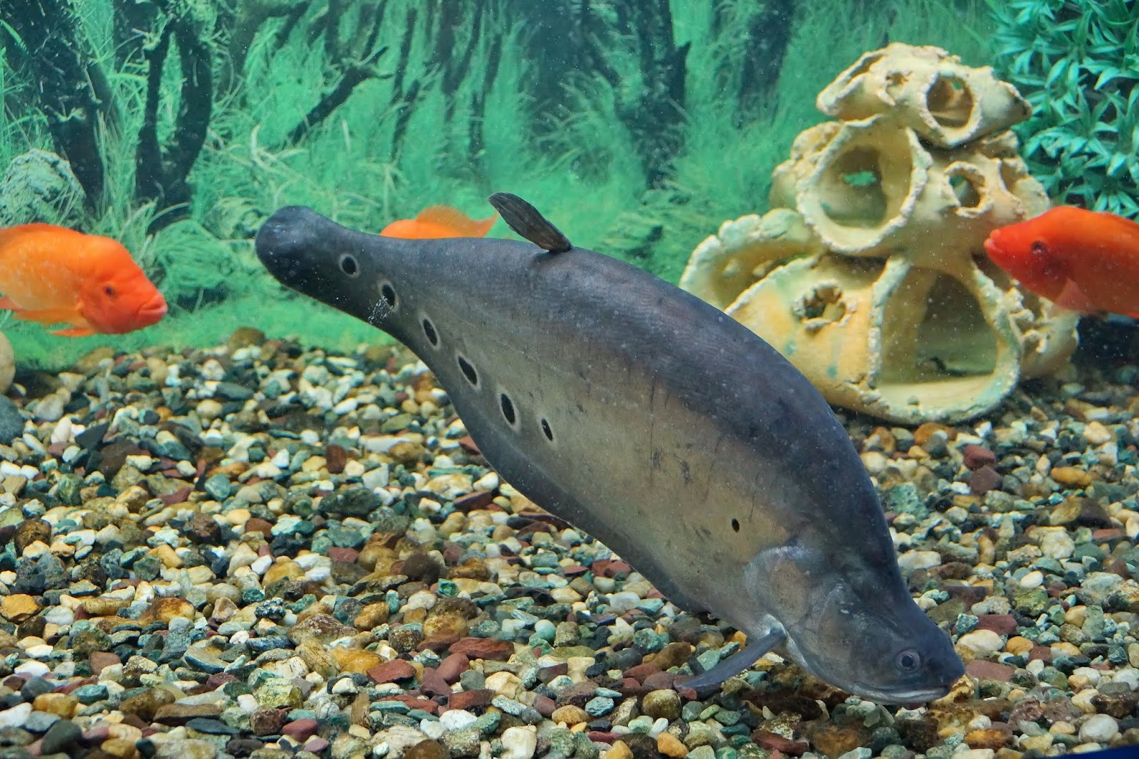 types of knife fish, knife fish, knife fish types