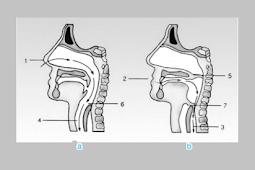 Batang Tenggorokan Dan Bagian Bagiannya