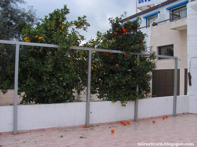 Пила - лимоны и мандарины у закрытого отеля