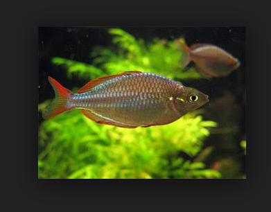 Ini Dia Budidaya Ikan Rainbow Boesemani