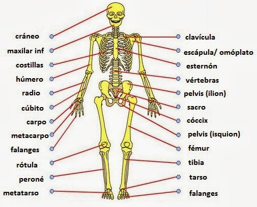 Conceptos generales sobre los huesos y las articulaciones
