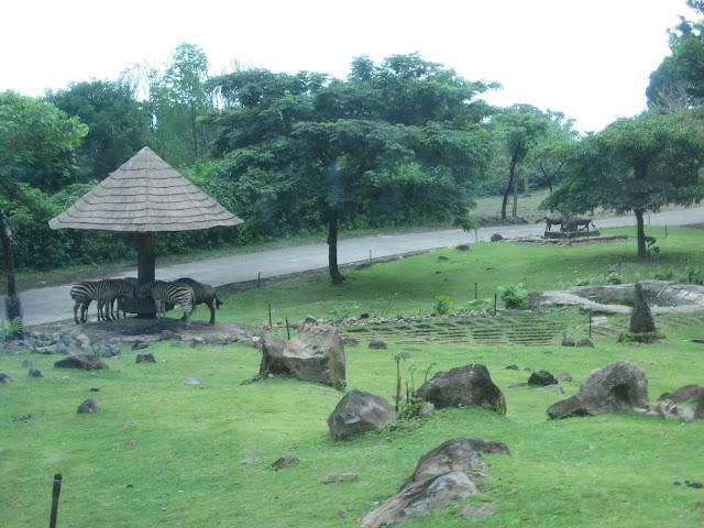 zebra taman safari prigen pasuruan