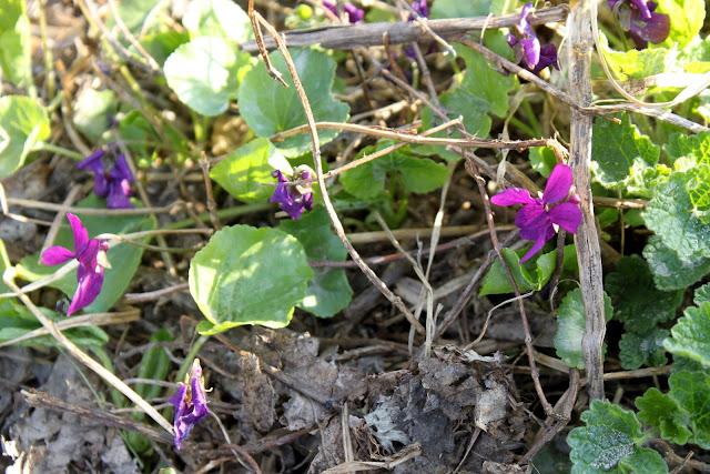 Wild Parma violets georgia
