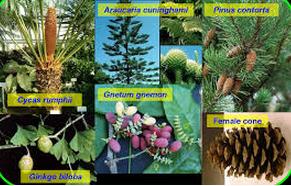 Ciri-Ciri Gymnospermae (Tumbuhan Biji Terbuka)