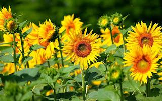 Gambar Bunga Matahari Paling Indah 200011_Sunflower