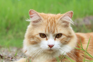 essay on cat in Hindi