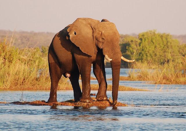 éléphant d'Afrique (Loxodonta africana)
