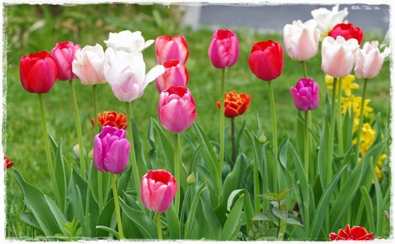 rosa und weiße Tulpen im Beet