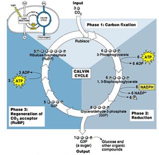 Proses Reaksi terang