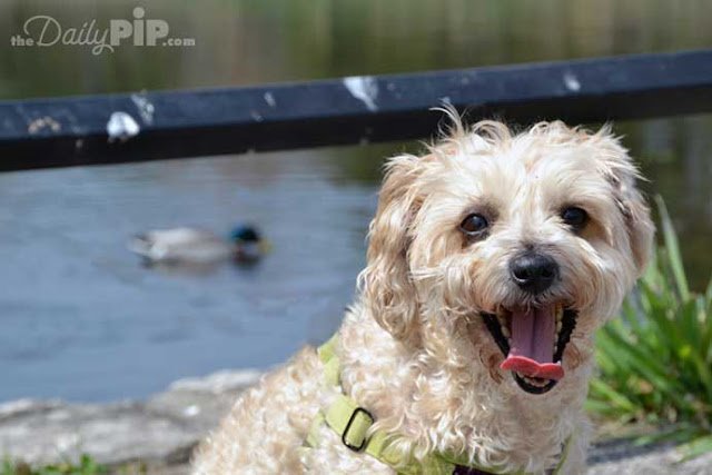 Ruby enjoys a walk in the park with ducks because rescue matters