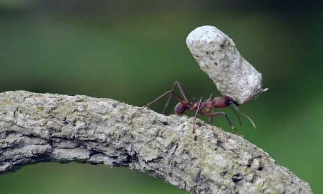 semut angkat batu