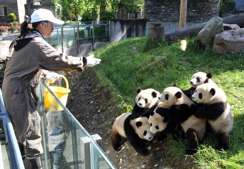 Giant panda habitat facts