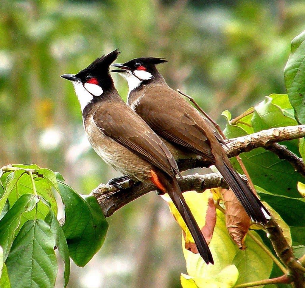 ... Các Bác 10 Hình Ảnh Chim Chào Mào Đẹp Nhất Mà Em Sưu Tầm Được Trên  Internet. Các Bác Chiêm Ngưỡng Và Đánh Giá Chú Chim Chào Mào Nào Đẹp Nhất  Nhé.