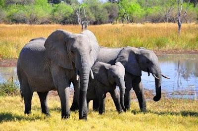 elephant of assam