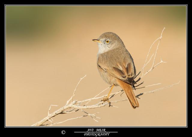 01D0836 DesertWarbler