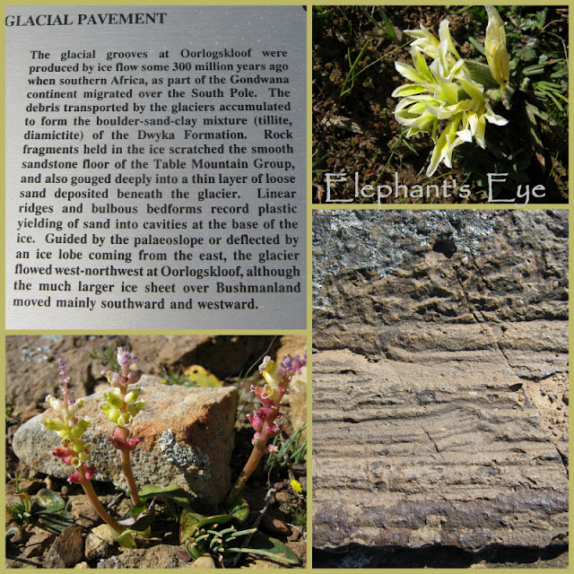 Detail of the glacial pavement at Ooorlogskloof with Babiana vanzyliae and Lachenalia elegans September 2012