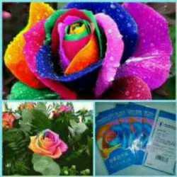 Bibit Bunga Mawar Rainbow