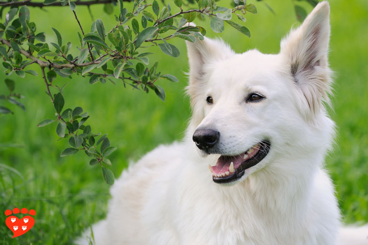 A white German  Shepherd in a meadow