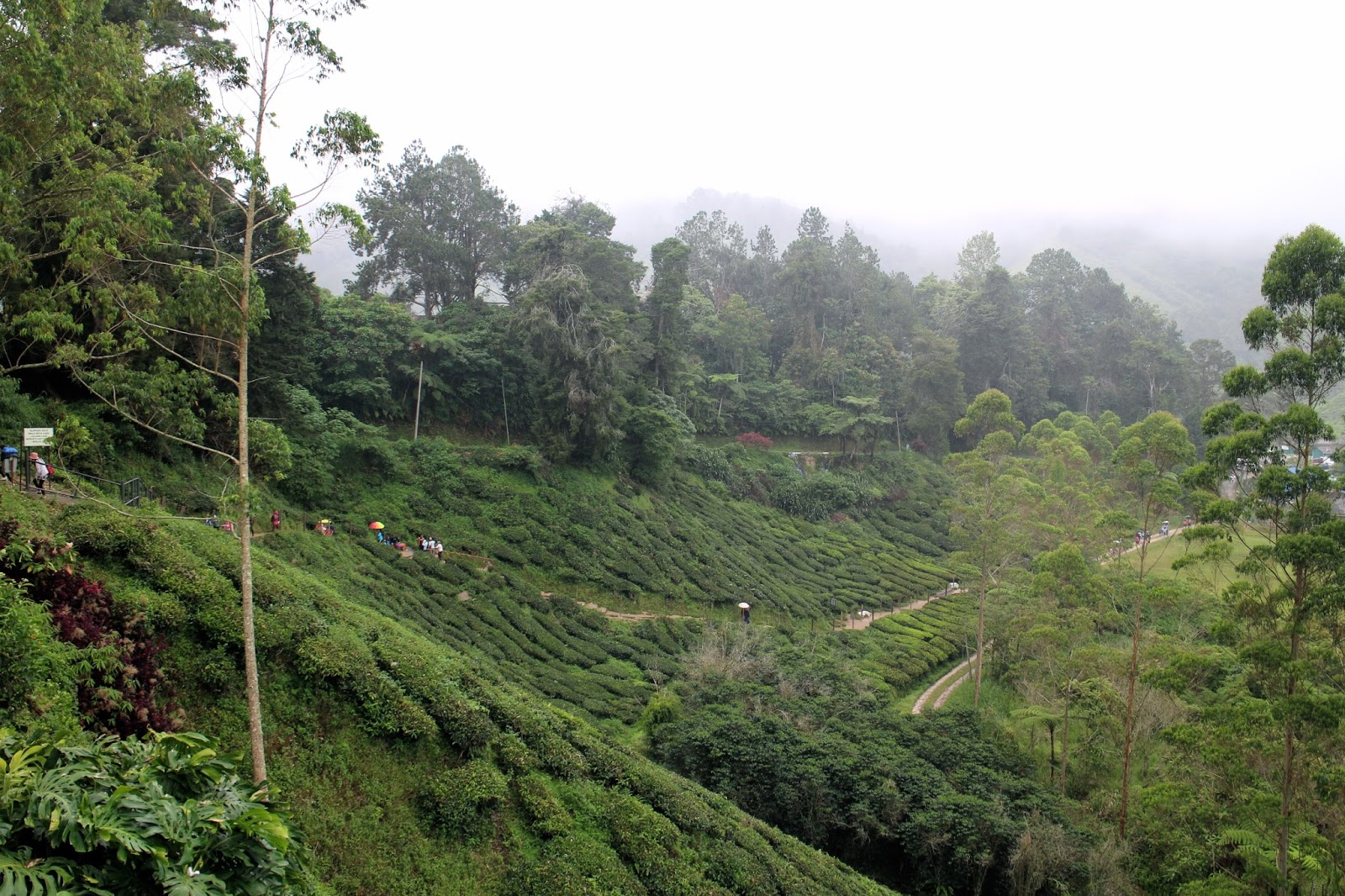 View across the Cameron Highland tea plantations