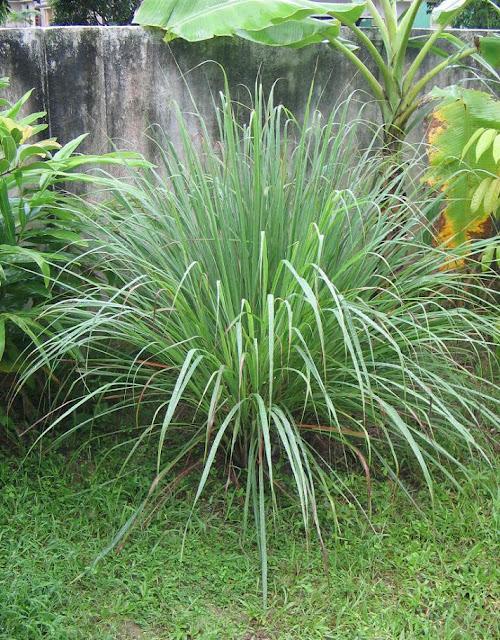 Cây Sả - Cymbopogon nardus - Nguyên liệu làm thuốc Chữa Cảm Sốt