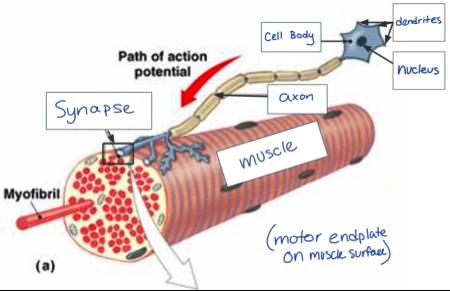 label a diagram of a motor unit