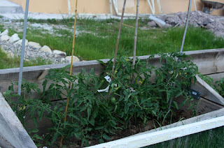 The tomatoes tied up to canes