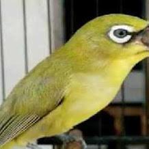 Cara Menunjang Suara Burung Pleci Agar Tetap Lantang