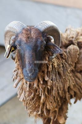 Ark Avilon Zoo - Domestic Sheep