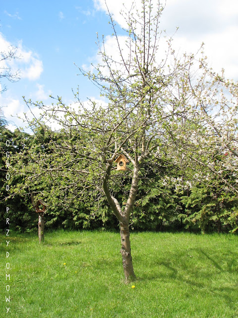 jabłonka w Pruszczu Gdańskim