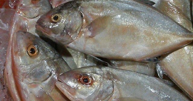 Budidaya Ikan Kuwe